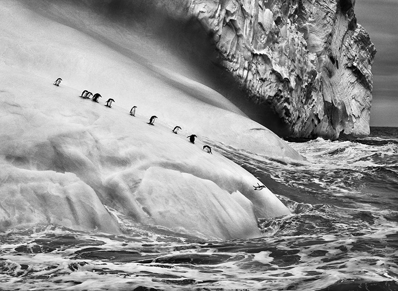 South Sandwich Islands.  Chinstrap penguins (Pygoscelis antarctica) on an iceberg located between Zavodovski and Visokoi islands. South Sandwich Islands. 2009. © Sebastião Salgado / Amazonas images